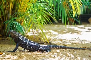Iguana serenely walking in the shade