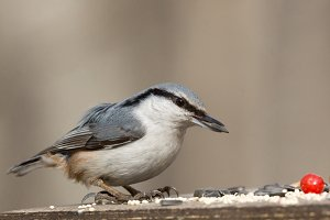 nuthatch on the branch