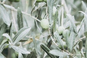 olive tree with olives close fine ar