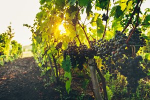 Ripe Grapes On The Vineyard At Sunrise, Autumn. Agritourism Rural Concept