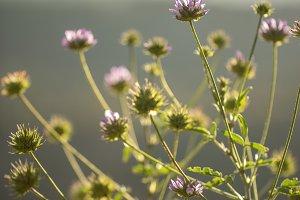 lilac spring meadow wild beautiful f