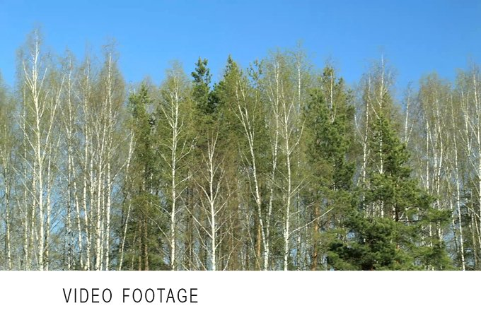 Birch trees. Dolly shot. - Nature