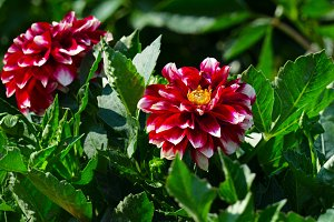 Red dahlia on flower bed