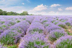 Picturesque lavender field