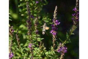 Butterfly brazil pollinates flowers. Brazhnik in flight.