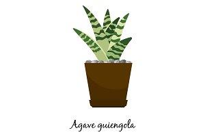 Agave guiengola cactus in pot