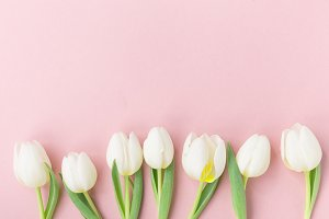 White tulips on pink background