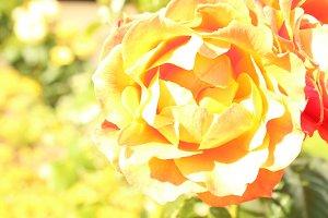 Photo Yellow Rose Close Up