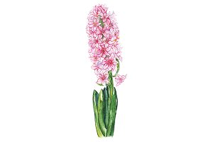 Watercolor pink hyacinth flower