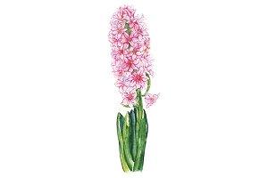 Watercolor pink hyacinth flower