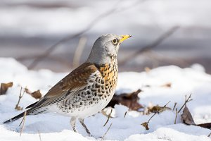 snowbird in the snow