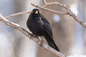blackbird on a tree