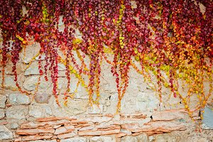 Autumanl ivy on a concrete wall