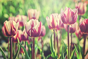 Tulips in rim light
