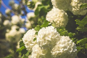 Snowball Bush flowers