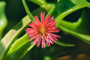 Succulent plant macro shot. Pink flower