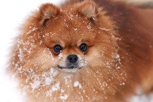 Pomeranian spitz