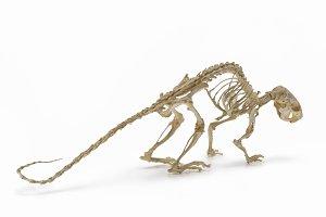 Natural skeleton of rat.
