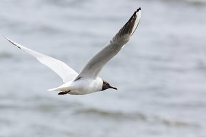 gull flying above the water