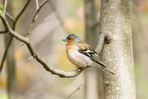 chaffinch on a branch