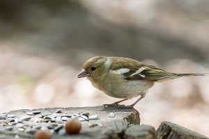 female chaffinch on a branch