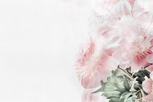 Pastel pink peonies flowers on white