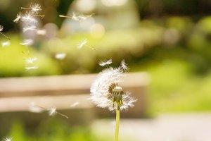 dandelion fly away in the wind