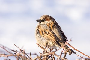 Sparrow in the Bush