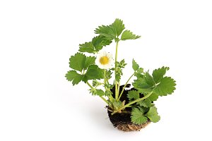 Strawberry seedling with flower isolated on white background