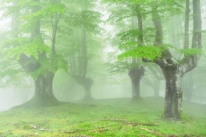 forest in spring with fog