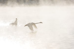 Beautiful white whooping swans