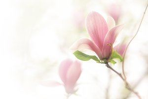 Spring vintage flowers Magnolia