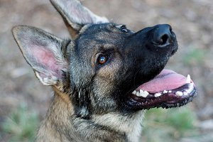 Sable German Shepherd Dog