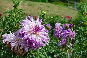Light violet dahlia