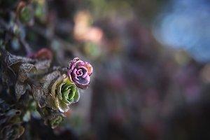 Colorful Succulents Macro