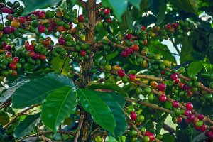 Ripening Coffee Plant