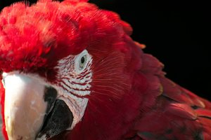 The Face of a Scarlet Macaw