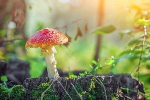 beautiful large mushroom amanita