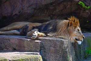 Lazy Day for King Lion