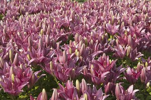 Pink lily flowres