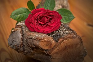Red rose on oak wood