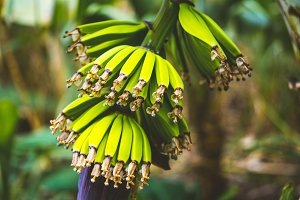 Banana fruits on the trakking route in a Paul valley on Santo Antao, Cape Verde. Close up