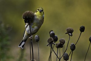 Peek-a-boo Bird