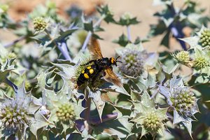 Mammoth wasp Megascolia maculata very large wasp.