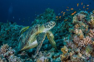 turtle with remora