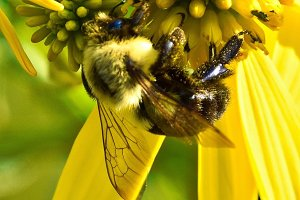 Da Bee Closeup