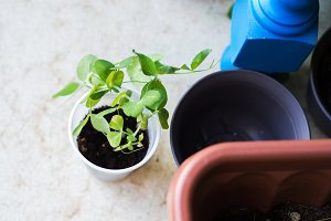 Soy bud sprout growing in plastic cup