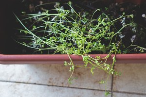 Growing buds in home garden