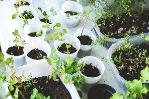 Home garden plants in plastic glasses