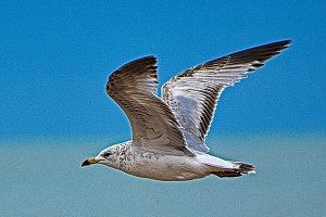 Sea Gull with Mileage
